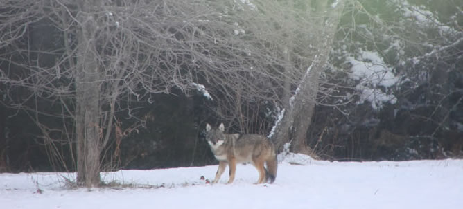 Maine coyote eating apples